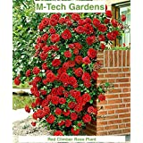 Generic Rare Red Climbing Rose Plant Dark Red Color Perinnial Rose 1 Live Plant