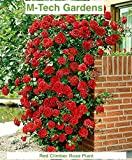 #9: Generic Rare Red Climbing Rose Plant Dark Red Color Perinnial Rose 1 Live Plant