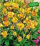 BALDUR-Garten Lilie'Apricot Fudge', 3 Knollen Lilium