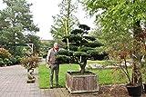 Japanischer Garten Bonsai Japanische Eibe - Taxus cuspidata winterhart Unikat voll akklimatisiert Outdoor Bonsai