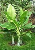 TROPICA - Grande Banano delle Nevi (Ensete glaucum o Ensete wilsonii) - 10 Semi