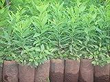 #8: National Gardens Sandalwood Seeds (Pack of 10 Seeds)