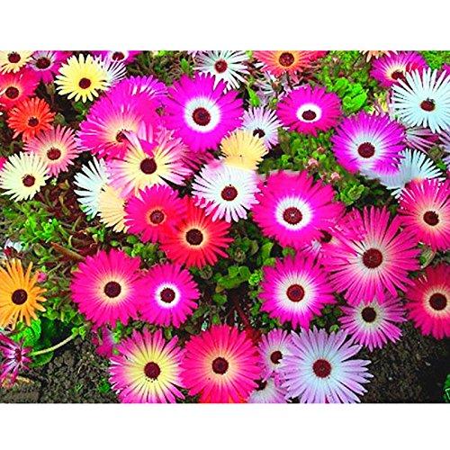 TOPmountain Mischen Sie Gänseblümchen-Samen 4000 Stück Dorotheanthus Bellidiformis EIS Gartenpflanzen Blumensamen