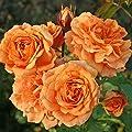 Kordes Rosen Kleinstrauchrose, Bentheimer Gold, aprikot orange, 12 x 12 x 40 cm, 353-31 von W. Kordes' Söhne auf Du und dein Garten