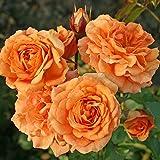 Kordes Rosen Bentheimer Gold Kleinstrauchrose, aprikot/orange, 12 x 12 x 40 cm