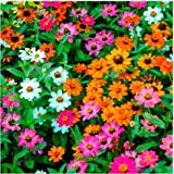 Tomasa Samenhaus- Zinniensamen Forecast-Mischung Blumensamen Zinnien bunte Blumenteppiche winterhart mehrjährig Blumen bienenfreundliche für Balkon/Garten