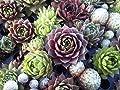 Immerlebender Hauswurz - Set aus 4 verschiedenen Sempervivum Pflanzen von Lifestyle-Hamburg Pflanzenraritäten bei Du und dein Garten