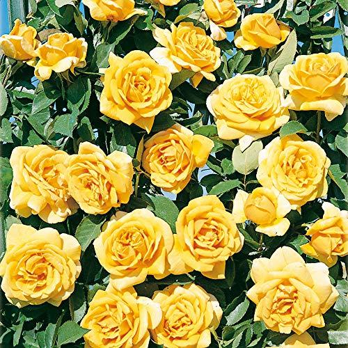 Clg landora®, rosa rampicante in vaso di rose barni®, pianta di rosa rampicante rifiorente grandi fiori, altezza fino a 5 metri, rifiorente con fiori giallo intenso mediamente profumati, cod. 16040.