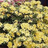 Gartenazalee gelb - 1 strauch