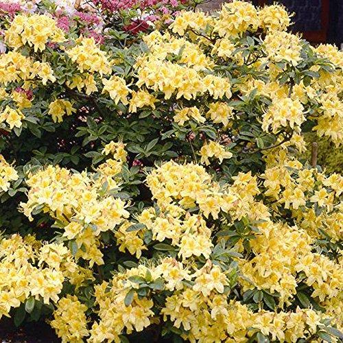 azalea-mollis-yellow-1-shrub