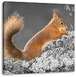 Nagendes Eichhörnchen im Moos B&W Detail, Format: 60x60 auf Leinwand, XXL riesige Bilder fertig gerahmt mit Keilrahmen, Kunstdruck auf Wandbild mit Rahmen, günstiger als Gemälde oder Ölbild, kein Poster oder Plakat