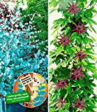 BALDUR-Garten Winterharter Eukalyptus & Winterharte Passionsblume, 2 Pflanzen
