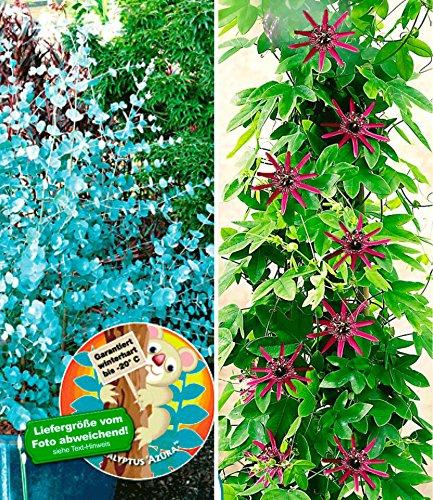 BALDUR-Garten Winterharter Eukalyptus & Winterharte Passionsblume, 2 Pflanzen Eucalyptus und Passiflora