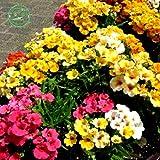 Flower Samen Mix Elfenspiegel Sundrops als Nemesia strumosa Grandiflora Home Garten Dekoration Bonsai 30Stück B058