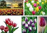 Jardin des plantes Bulbes tulipe graines de bulbes bonsaï fleurs graines plantes hydroponiques - 200pcs / bag Bonsai Seed