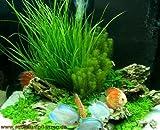 Mühlan - 4 getopfe Aquarienpflanzen + 8 Bund Wasserpflanzen + Dünger - für Diskusaquarien, Diskus