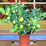 Kaimus 20 Stücke Zitrone Samen Grün Bio-Frucht Samen Kaffir Limette Limettenbaum Samen Citrus Aurantifolia Limone Zitrus Obst Samen Zitronenbaum Bonsai Für Hausgarten