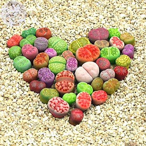 Go Garden Bellfarm Bonsai Lithops Mixtes 10 Types de Pierres Vivantes Gris Vert Rouge Mã©Langã© Orange Blanc etc Haut Germination -10pcs / Pack