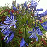 Hortiflor Bureau - Agapanthe Bleue Agapanthus Umbellatus Bleue (lot de 3 pieds)