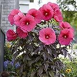 lichtnelke - Riesen-Hibiskus (Hibiscus moscheutos) Carousel® Pink Passion