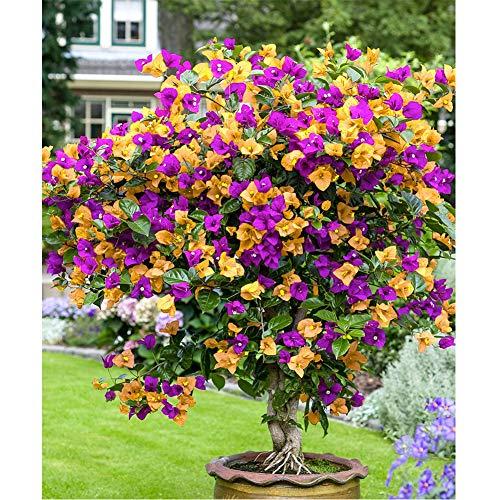 cecelia may 100 pezzi di fiori di bouganville multicolore giardino di casa decorazione della pianta del fiore per piantare all'aperto