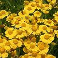 lichtnelke - Sonnenbraut (Helenium ' KUGELSONNE ') von Lichtnelke Pflanzenversand - Du und dein Garten
