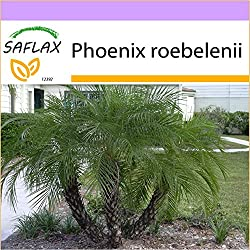 SAFLAX - Zwerg - Dattelpalme - 25 Samen - Phoenix roebelenii