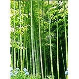 Asklepios-seeds® - 100 Semillas de Bambusa arundinacea Bambú