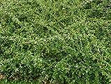 Bodendecker Cotoneaster dammeri radicans im 0,5L Topf gewachsen