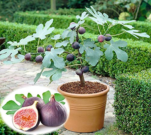 Soteer Garten - exotischer Mini Feigenbaum Samen Frucht-Feige Feige 'Braun Türkei' Zwerg Feige Baum Bonsai Saatgut winterhart mehrjährig -