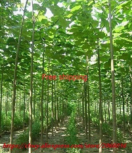 Pinkdose Paulownia elongata New Waldbaum Bonsais, 200pcs / pack schnell wachsender Baum