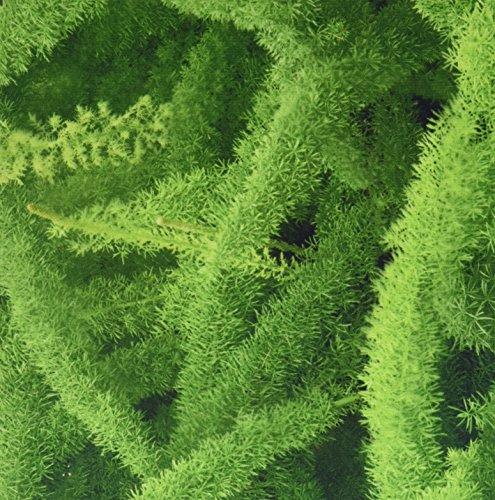 3drose-llc-8-x-8-x-025-foxtail-fern-asparagus-densiflorus-myers-adam-jones-mouse-pad-mp-83276-1