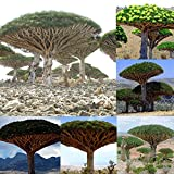 KimcHisxXv Drachenblutbaum Samen, 10 St¨¹ck Drachenblutbaum Samen Riesenpflanzen Garten Hof Dekor Zier Bonsai