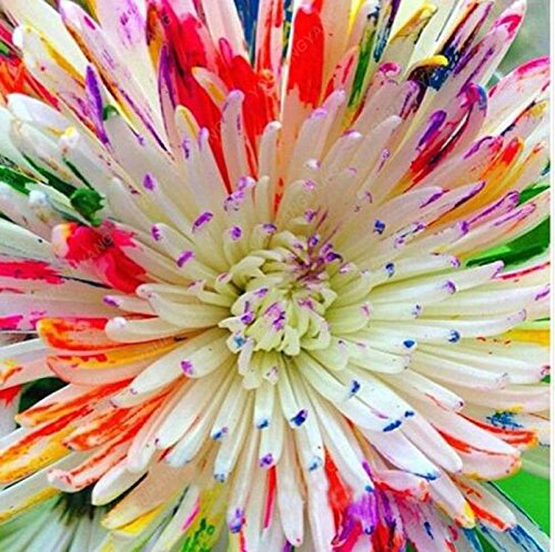100pcs rari semi acquerello crisantemo bella arcobaleno acquerello crisantemo naturali fai da te giardino di fiori