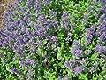 Staudenkulturen Wauschkuhn Nepeta cataria ssp. citriodora - Katzenminze - Staude im 9cm Topf von Staudenkulturen Wauschkuhn - Du und dein Garten