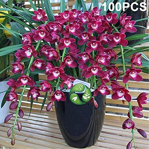 tyhmnoiiu 100Pcs Cymbidium Ornamental Pflanze Blumensamen Garten Hof Home Bonsai Dekor, leicht zu Pflanzen, Zierpflanze, Gartenarbeit