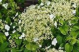 Hortensie Kletterhortensie weiße Blüte Hydrangea petiolaris 60-100 cm