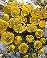 Lemo Gartendesign Winterlinge (Eranthis cilicica Gelb, 30 Stück) von Lemo Gartendesign - Du und dein Garten