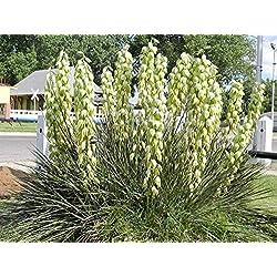 Vistaric Bananen Yucca - 20 Samen - Trockenheitstolerant, Essbare Früchte, Yucca Baccata!