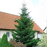 Nordmann-Tanne - Abies nordmanniana – Weihnachtsbaum Tannenbaum Topf-Pflanze Immergrün Winterhart – Tannen vom Garten Schlüter - Pflanzen in Top Qualität