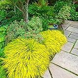 Keland Garten - Selten 100 Stück Chinaschilf Blauschwingel pflegeleicht winterhart mehrjährig, Ziergras Samen, als Einzel- oder Gruppenpflanzung in Steingärten, Beeten oder Töpfen