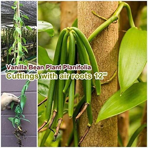"""FERRY Bio-Saatgut Nicht nur Pflanzen: Vanilla B Planifolia 100 Samen Samen mit Luft Seed 12"""" lang DIY"""