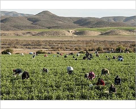 Photographic Print of Picking beans, El Rosario, Baja California, Mexico, North America