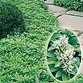 Schattengrün 'Ysander' - Pachysandra terminalis von Garten Schlüter auf Du und dein Garten