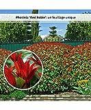 30 Photinias 'Red Robin'