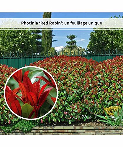 30 Photinias 'Red Robin'