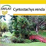 SAFLAX - Anzucht Set - Rotstielpalme / Siegellackpalme - 10 Samen - Cyrtostachys renda