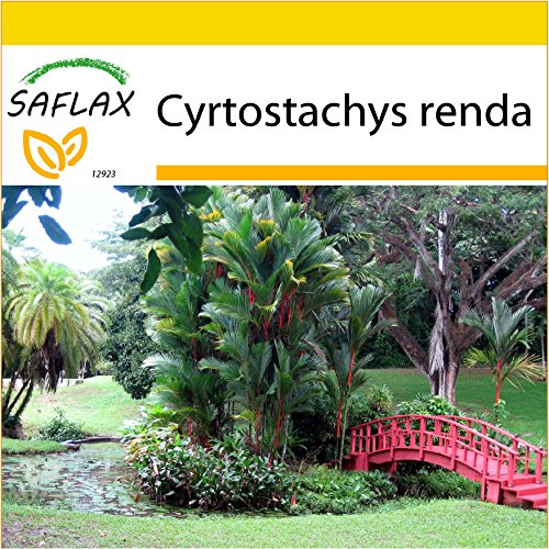 SAFLAX - Kit de culture - Palmier à tronc rouge - 10 graines - Cyrtostachys renda