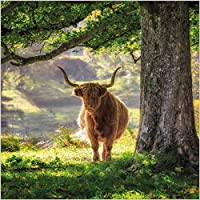 Photographic Greeting Card (ABA6877) - Blank/Birthday - Highland Cow in Glen Lyon, Scotland - BBC Countryfile Range