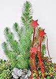 Palmenmann Mittelmeerkiefer (Italienische Steinkiefer) - Pinus pinea